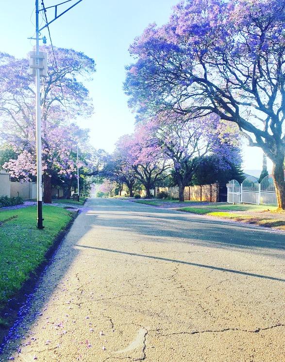 Jacaranda trees Johannesburg